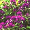 Bellflower, 'Superba'