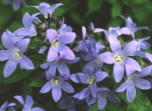 All_plants_campanula_lactiflora_pouffe-1.full