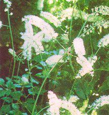 Snakeroot, Autumn 'White Pearl'