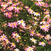 All_plants_coreopsis_rosea-1.thumb