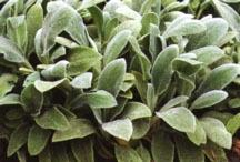 Perennials_stachys_byzantina_silver_carpet-1.medium.full
