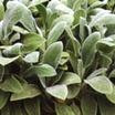 Perennials_stachys_byzantina_silver_carpet-1.medium.thumb