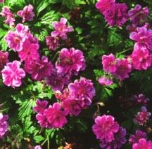 Geranium, 'Plenum'