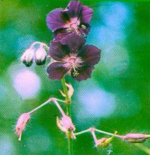 Geranium, 'Mourning Widow'