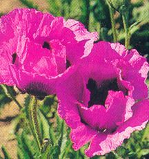 Poppy, Oriental 'Raspberry Queen'