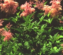 All_plants_filipendula_rubra_venusta-1.full
