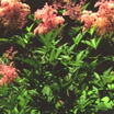 All_plants_filipendula_rubra_venusta-1.thumb