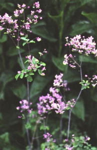 Meadow Rue, Lavender Mist
