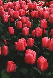 Tulip, Triumph 'Peer Gynt'
