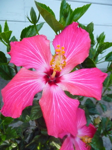 Painted Lady Hibiscus