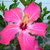 Hibiscus_pink_lady.small