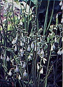 Hyacinth, Summer