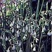 Hyacinths_galtonia_candicans-1.thumb