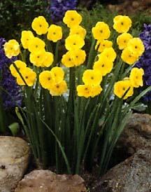 Daffodil, Jonquil 'Sundial'