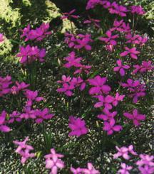 Rhodohypoxis, Baurii Pink