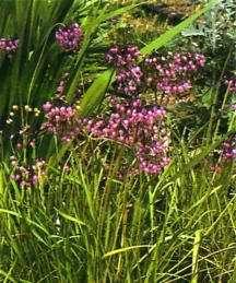 Allium, 'Early Dwarf'
