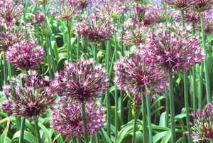 Allium, Ornamental