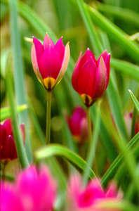 Tulip, Wild 'Violacea'