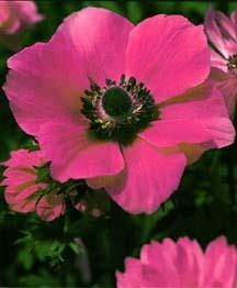 All_plants_anemone_coronaria_rosea-1.full