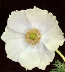 All_plants_anemone_coronaria_var._the_bride-1.full