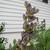 Perennials: Baptisia Australis 'Twilite Prairie Blues'