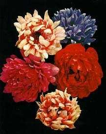 All_plants_anemone_coronaria_var._st._brigid-1.full