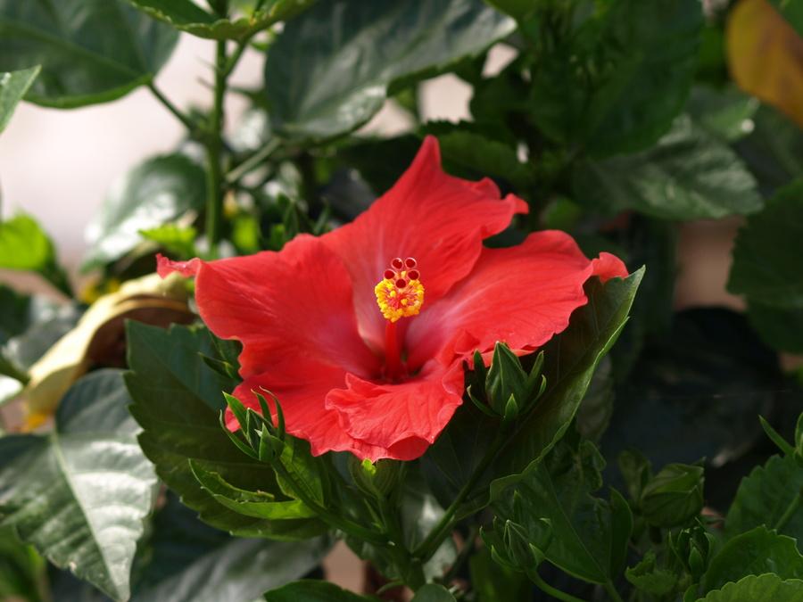 Hibiscus.full