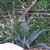 Agave_and_gaura.small
