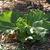Growing_rhubarb.small