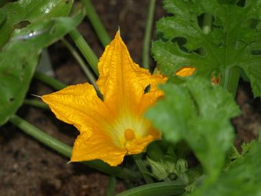 Golden_zucchini_bloom.detail