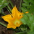 Golden_zucchini_bloom.small