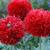 Papaver_crimson_feathers.small