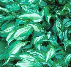 Hosta, Wavy-Leafed Variegated