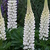 Lupinus_gallery_white_cluster.small