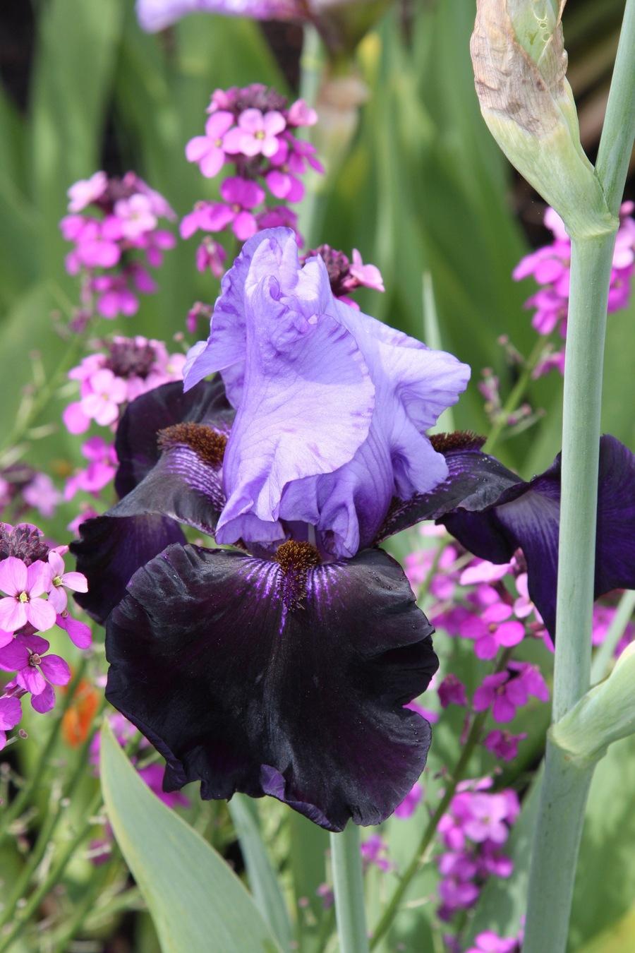 Iris1.full