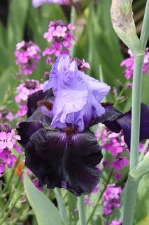 Iris1.large