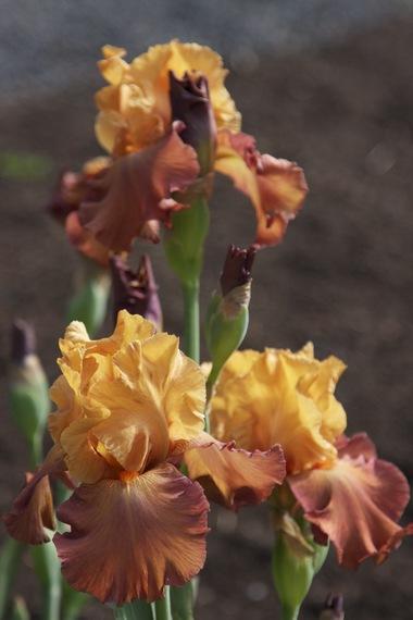 Iris2.detail