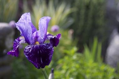Iris3.detail