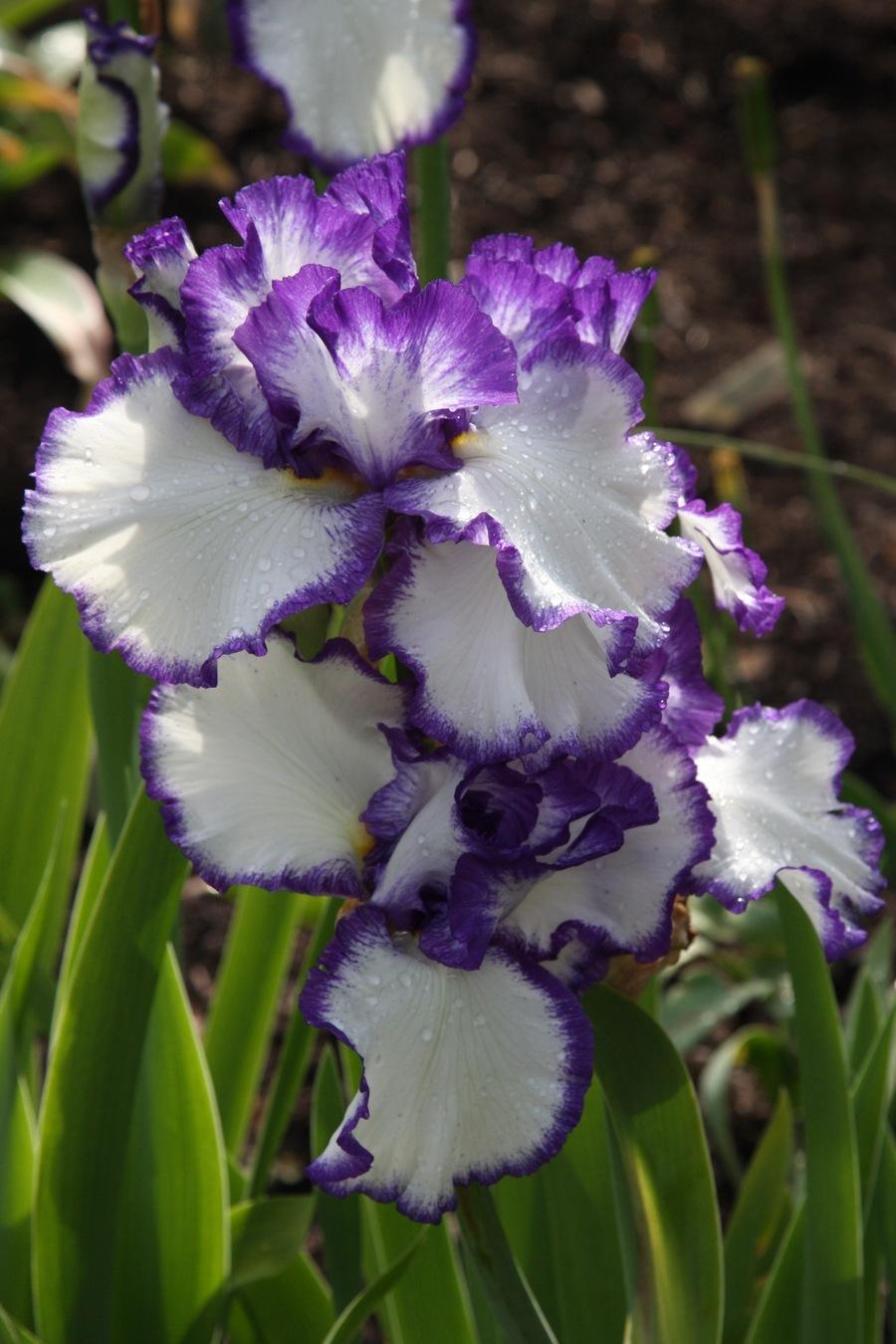Iris10.full