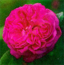 Rose, Antique Hybrid Perpetual 'Baronne Prevost' (1842)