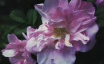 Rose, Antique Rugosa 'Belle Poitevine' (1894)