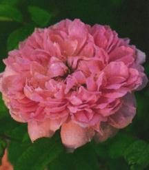 Rose, Antique Hybrid Perpetual 'Marquise Boccella' (1842)