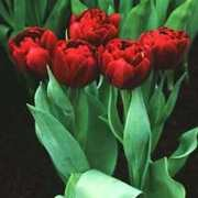 Tulip, Double Late 'Uncle Tom'