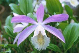 Orchid, Rockery