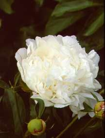Peony, Double 'Duluth' (Franklin 1931)