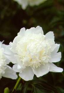 Peony, Double 'Eastern Star' (Bigger 1975)