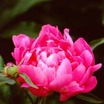 Peonies_paeonia_queen_of_sheba-1.thumb