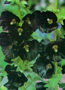 Hollyhock, 'Black Watchman'