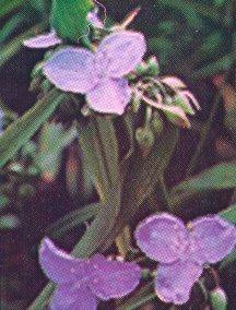 Spiderwort, 'James C. Wegulin'