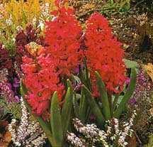 Hyacinth, Dutch 'Jan Bos'